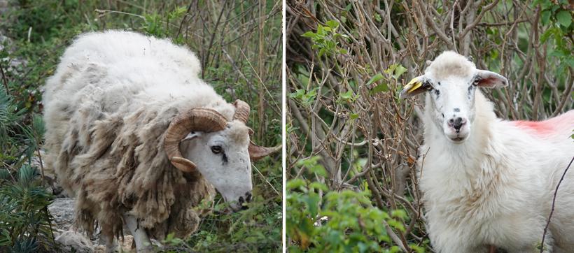 wilde en tamme schapen op Cres