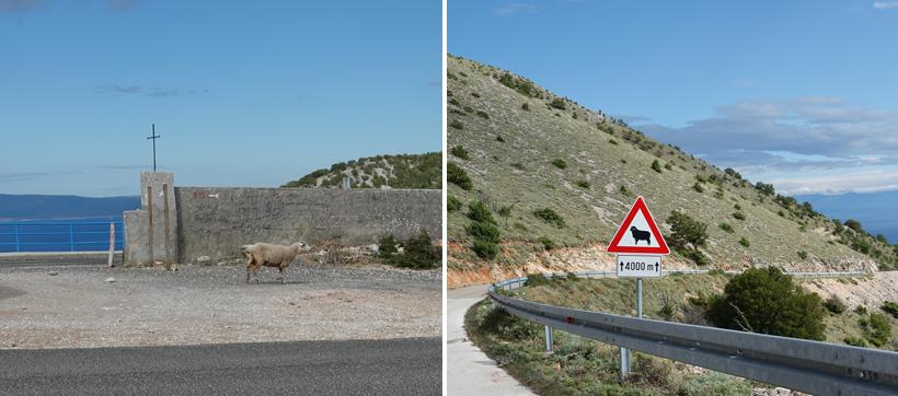 wilde schapen op de weg op het eiland Cres