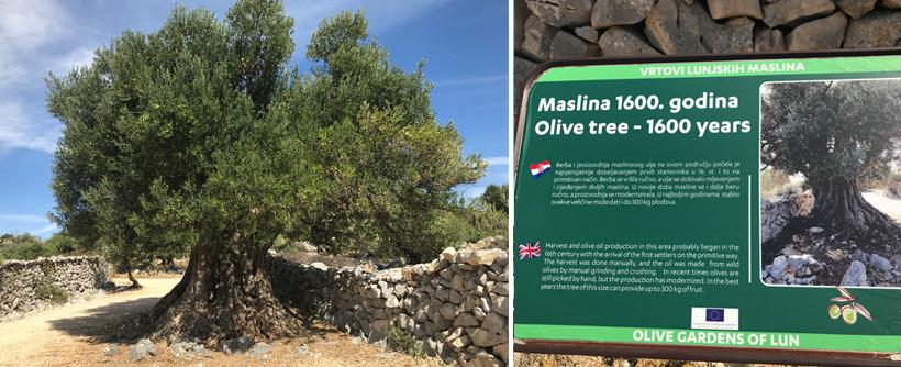 eeuwenoude olijfboom in Lun op eiland Pag aan de Adriatische kust