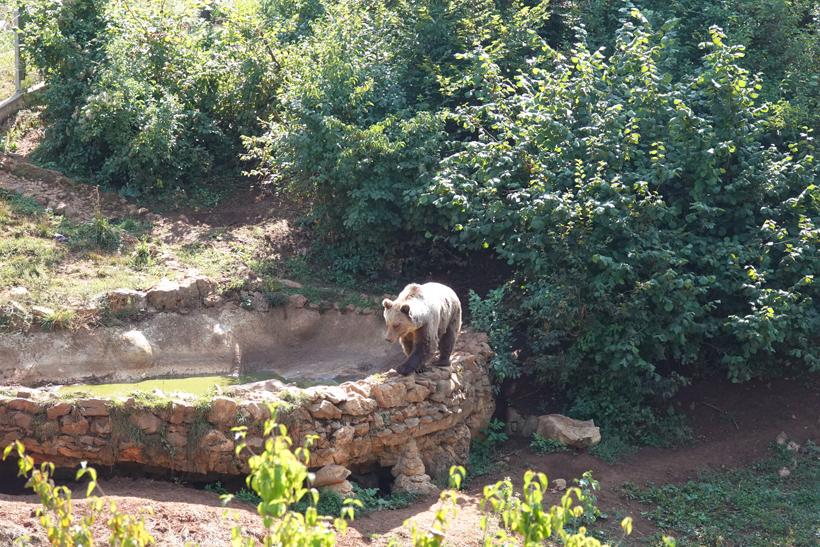 beer wandelt op rand van poel in Kuterevo berenopvang