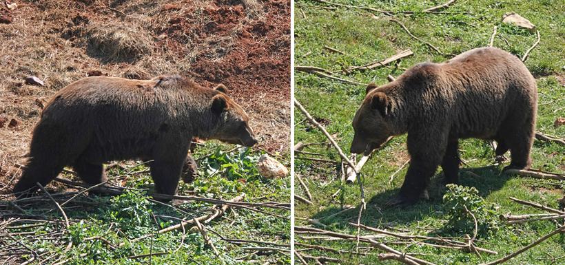 bruine beren in Kuterevo berenopvang