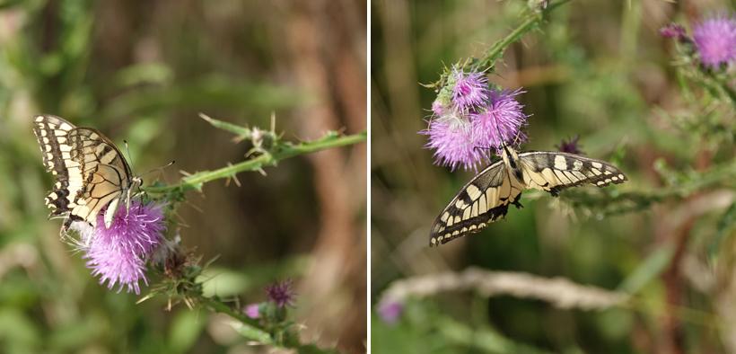 vlinders aan de Adriatische kust