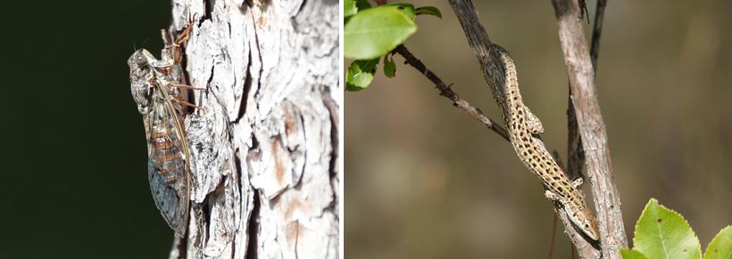 cicade en hagedis in Sibenik