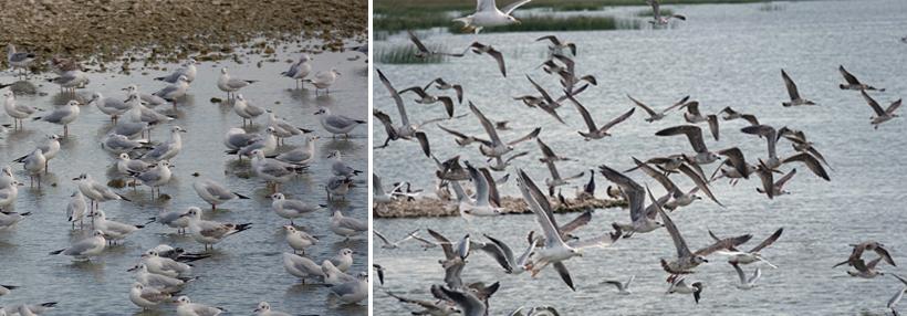 meeuwen in vogelreservaat Zadar aan de Adriatische kust