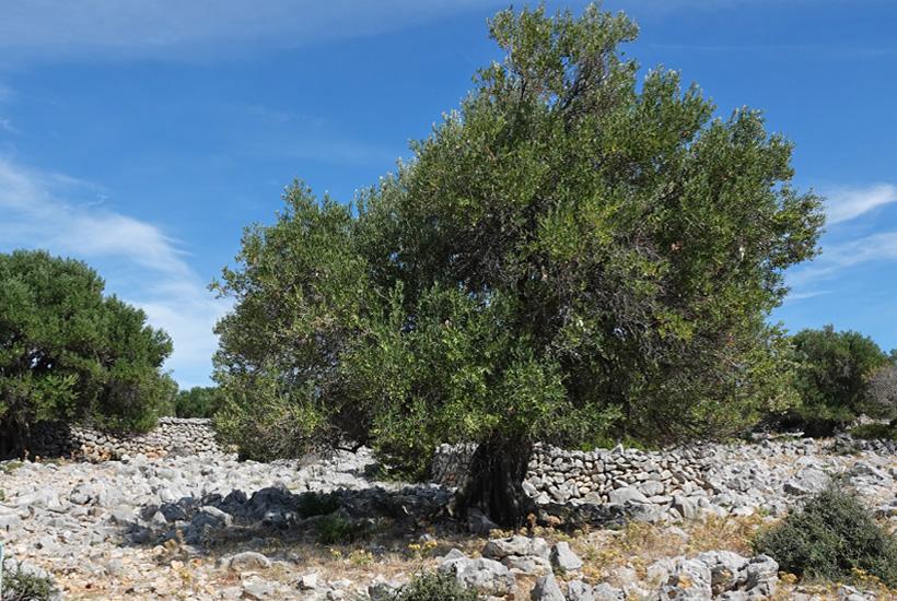 olijfboom tegen blauwe lucht op eiland pag