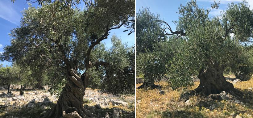 eeuwenoude olijfbomen in Lun