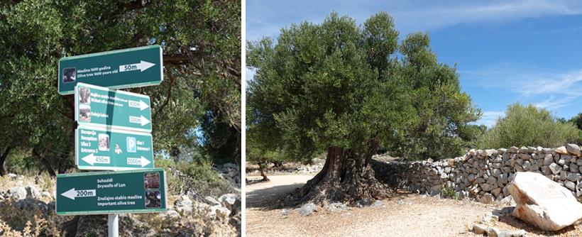 olijfbomen van meer dan 1000 jaar oud in Kroatië
