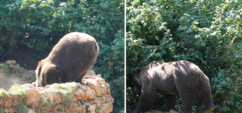 wilde beer drinkt en wandelt in struiken in Kuterevo