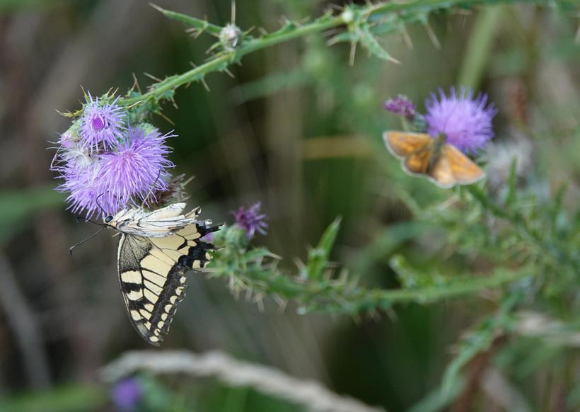 vlinders in Kroatië