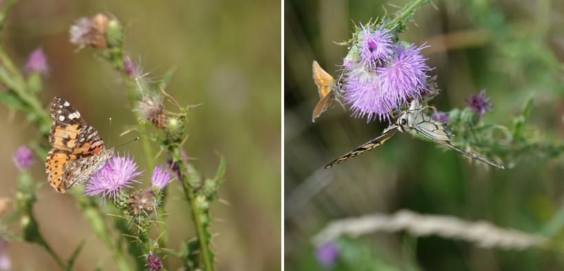 vlinders in vogelreservaat aan de Adriatische kust