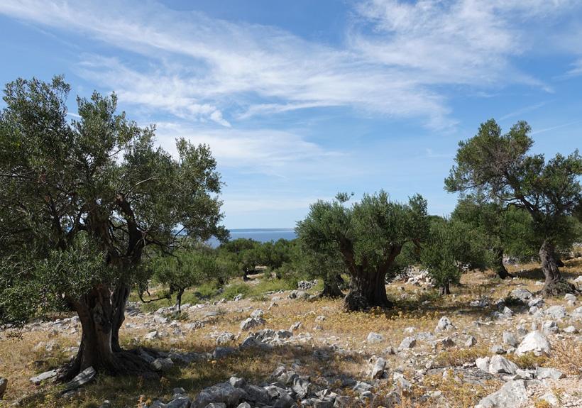 wandelpad olijfbomen in Lun