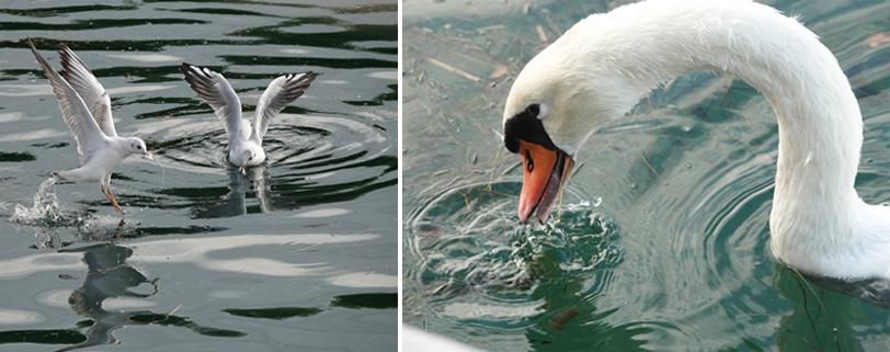 meeuwen en zwaan in haven skradin