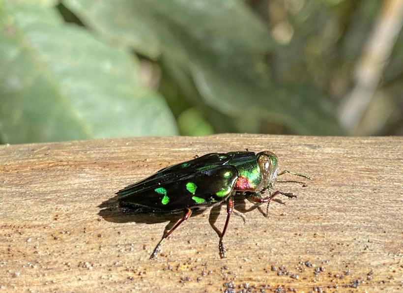 fel groen insect in panama