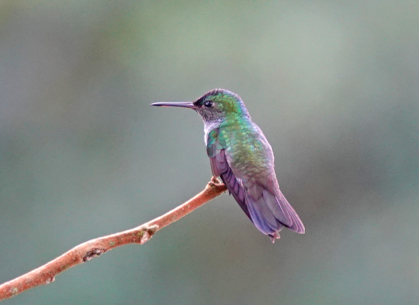 kolibrie regenwoud pachamama