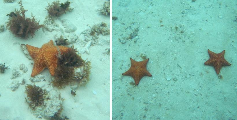 grote rode zeesterren in Dutch Cays San Blas