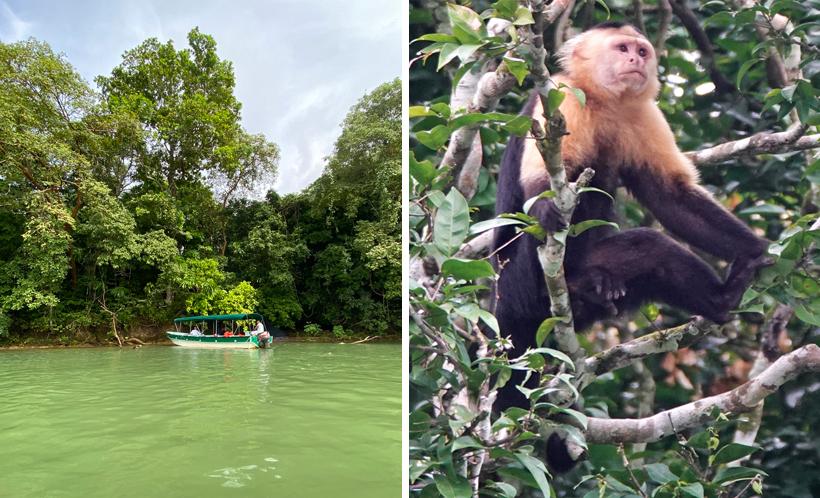 kapucijnaap op monkey island in het panamakanaal