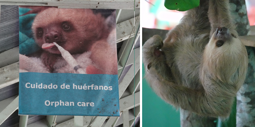 opvangcentrum luiaards in gamboa