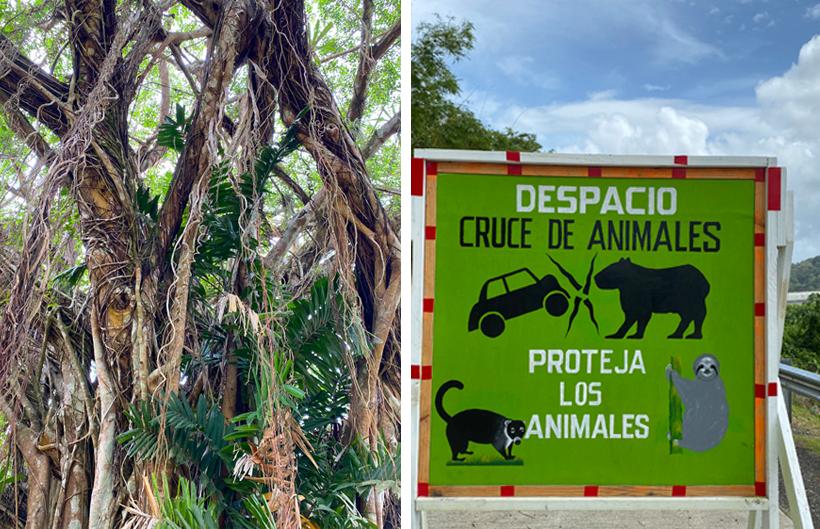 dieren op de weg in Gamboa