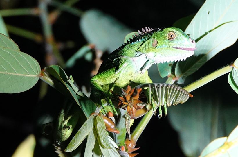 Groene leguaan tijdens night safari Jungle Land Gamboa