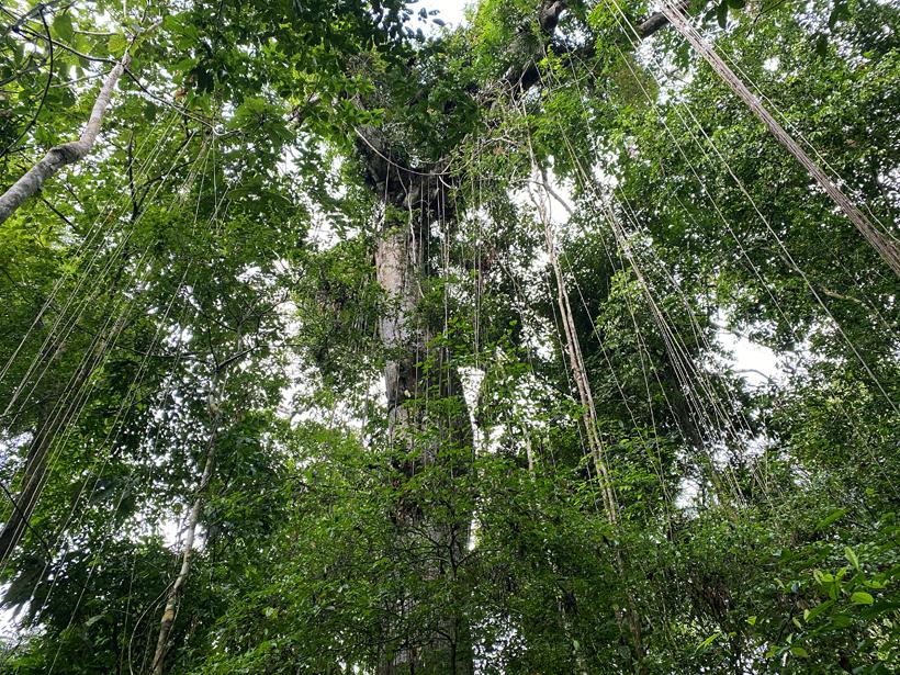 reus van het woud met lianen in panama