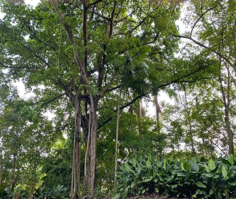 tropische bomen in panama city