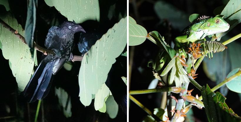 Nachtvogel en groene leguaan night safari Jungle Land
