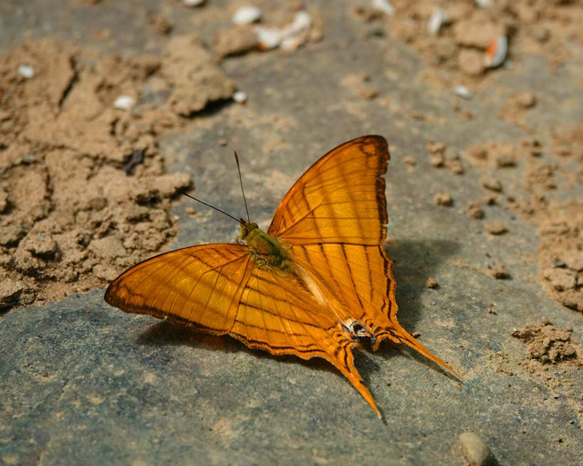 oranje vlinder in Costa Rica