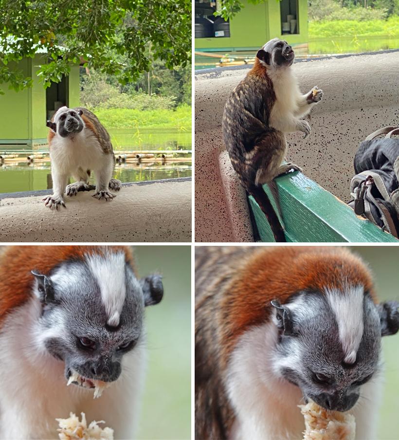 tamarin aapjes bedelen om eten bij toeristen