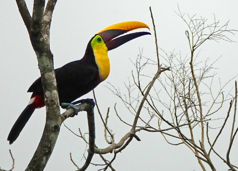 Toekan in la Trinidad