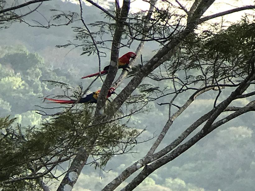 scarlet macaws carara nationaal park