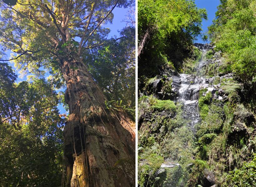 oude boom en waterval in boquete