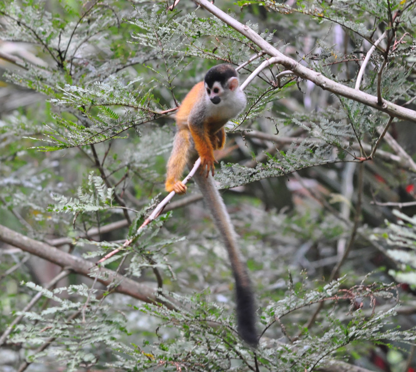 squirrel monkey in Golfito