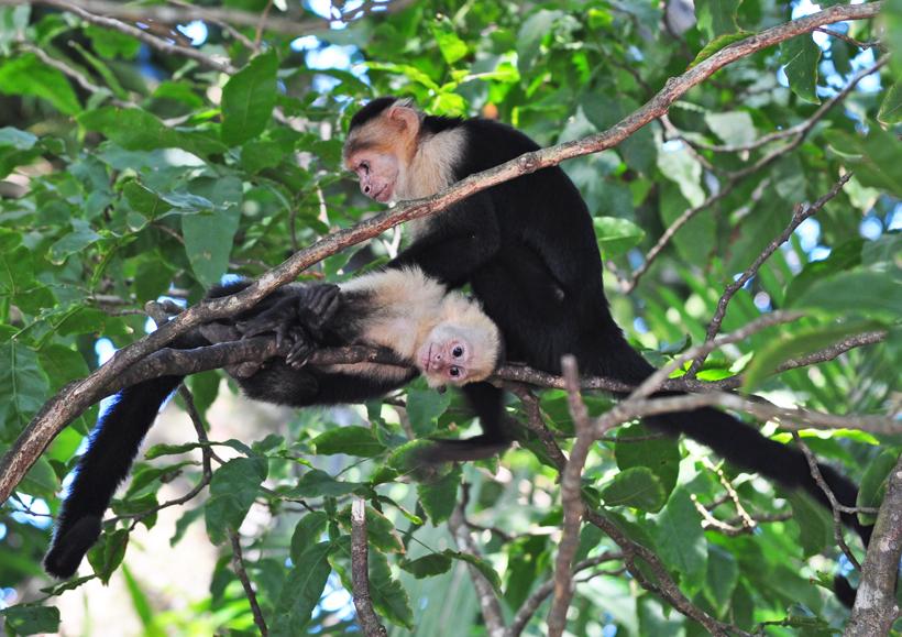 kapucijnapen in Manuel Antonio Nationaal Park
