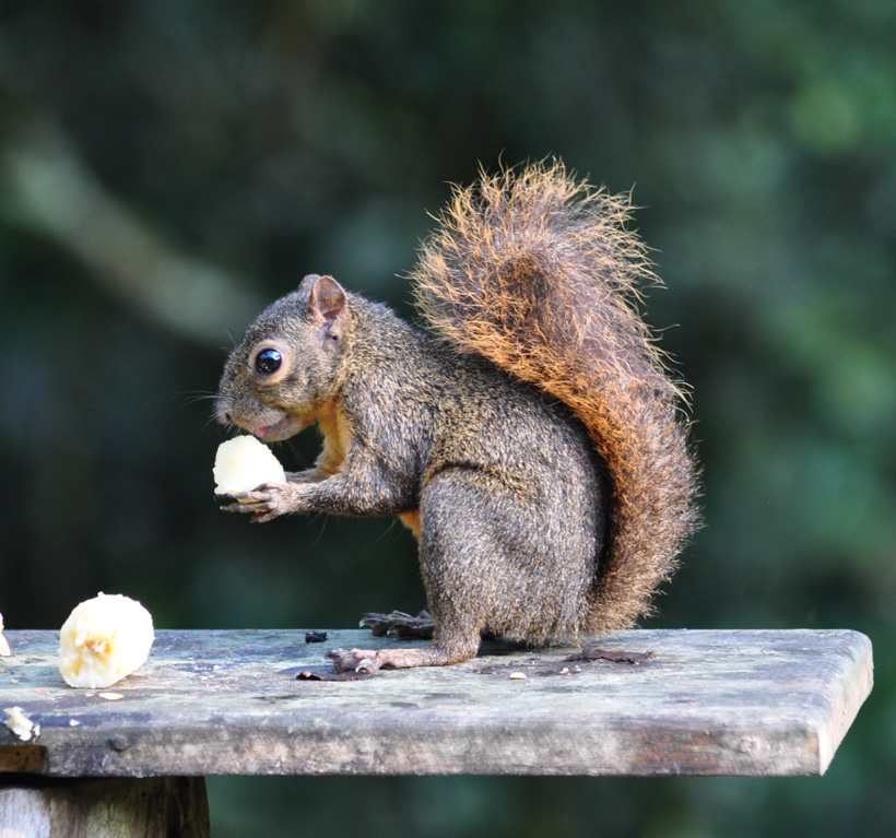eekhoorn in Golfito