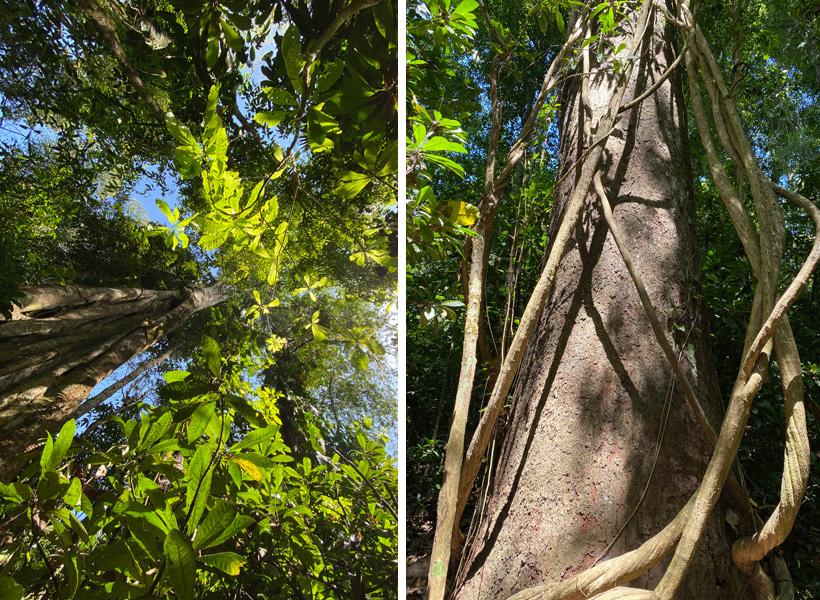 hoge bomen in carara nationaal park