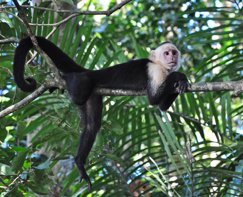 poserende kapucijnaap in Manuel Antonio Nationaal Park