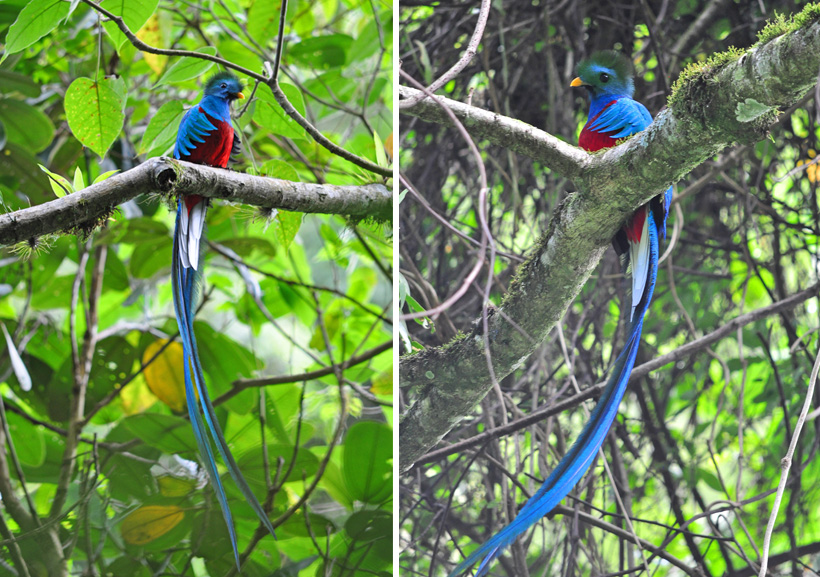 mannelijke quetzal in boquete