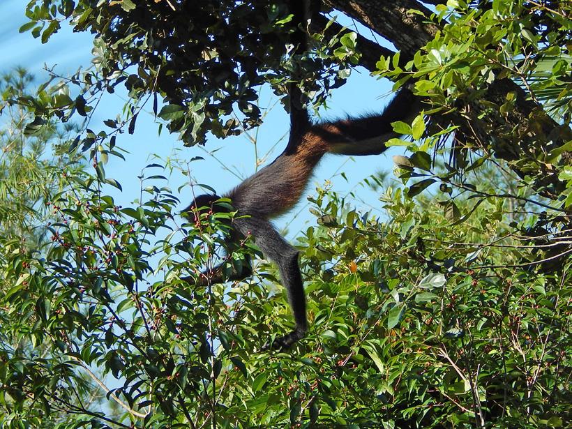 slingeraap in Costa Rica