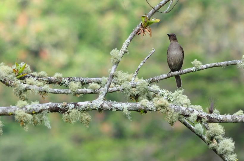 vogel op tak met mos in boquete