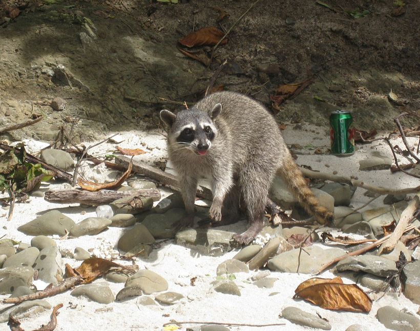 wasbeer en afval strand manuel antonio