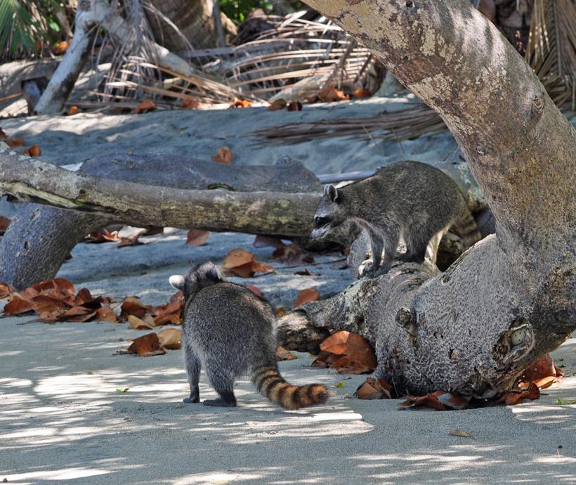 wasberen op strand in manuel antonio nationaal park