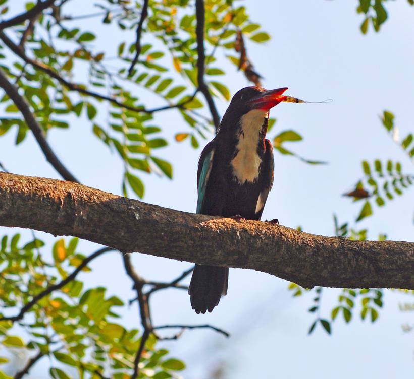 Ijsvogel in Negombo