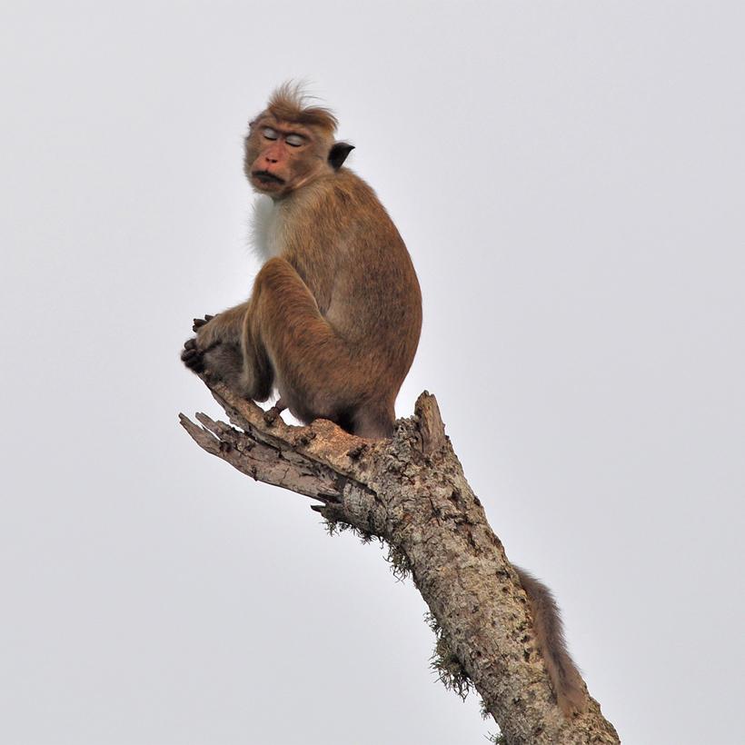 aap in Bundala Nationaal Park
