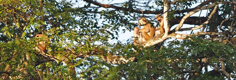 familie aapjes in boom in Maha Oya
