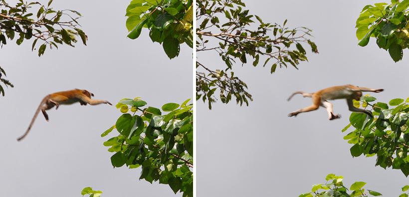 aapjes springen in boom in Maha Oya