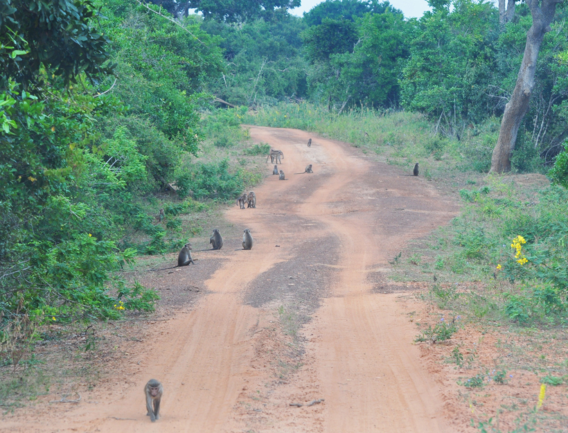 apen in Bundala Nationaal Park