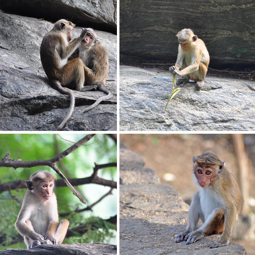 Ceylonaapjes in actie aan rock tempel Dambulla