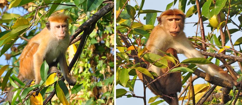 ceylon kroonaapjes Sri Lanka