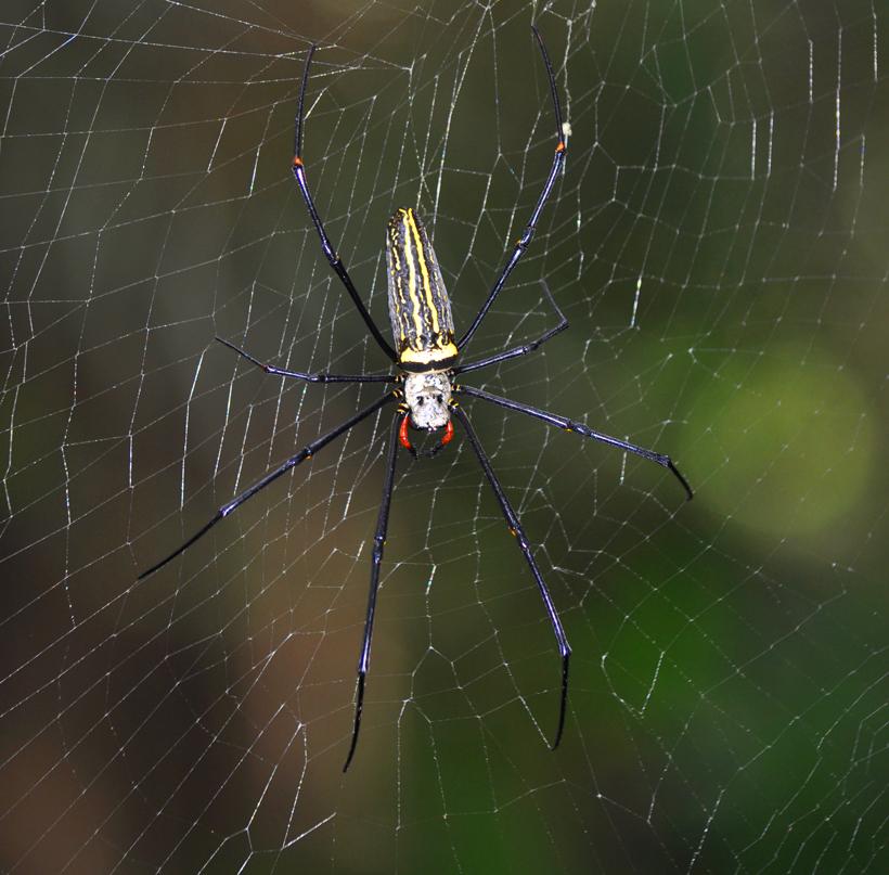 spin met gele strepen Sinharaja