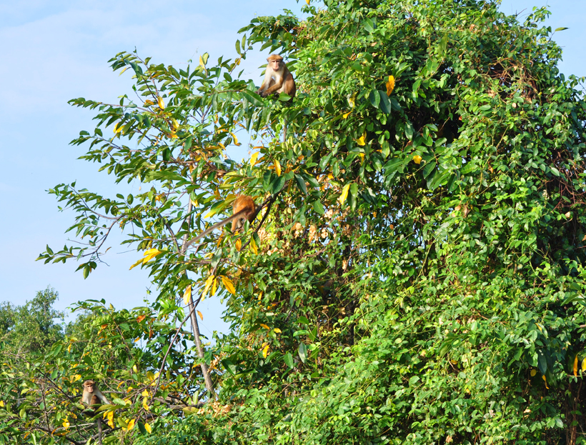 ceylonaapjes in Sri Lanka